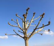 De boom van het hurenvliegtuig (Platanus) Stock Foto