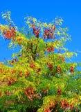 De boom van het johannesbrood Royalty-vrije Stock Fotografie
