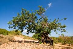 De boom van het johannesbrood, Ibiza Stock Afbeelding