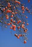 De boom van het kaki in de winter Royalty-vrije Stock Foto
