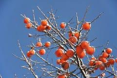 De boom van het kaki in de winter Stock Foto's