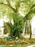 De boom van het leven Zuiden Anjunia Goa India stock foto's