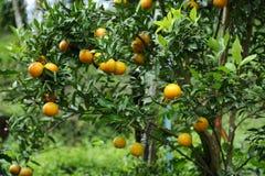De boom van het mandarijnfruit Stock Fotografie
