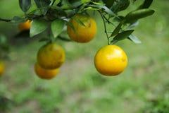 De boom van het mandarijnfruit Stock Afbeelding