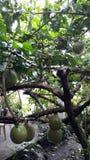 de boom van het mirakelfruit stock foto