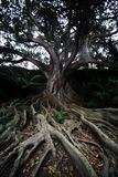 De Boom van het regenwoud Stock Fotografie