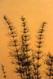 De boom van het silhouetbamboe Stock Fotografie