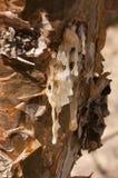 De boom van het wierookhars Royalty-vrije Stock Foto's
