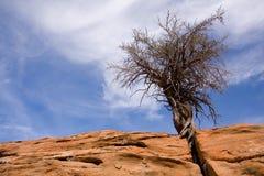 De boom van het zandsteen en van de Jeneverbes Royalty-vrije Stock Foto
