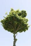 De boom van hoogste-zwaarte Royalty-vrije Stock Afbeeldingen