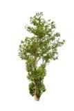 De boom van Irvingiamalayana stock afbeeldingen