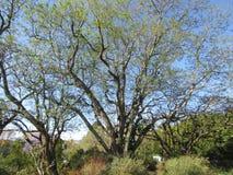 De boom van Jacaranda royalty-vrije stock afbeelding