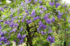 De boom van Jacaranda stock afbeelding