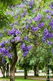 De boom van Jacaranda stock foto