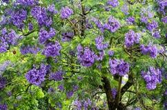 De boom van Jacaranda royalty-vrije stock foto