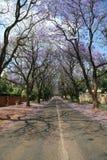De boom van Jacaranda Royalty-vrije Stock Afbeeldingen