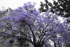 De boom van Jacaranda Stock Afbeeldingen