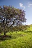 De boom van Jacaranda in Maui, Hawaï Stock Foto's