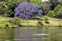 De boom van Jacaranda op een rivier Stock Foto