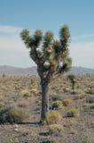 De boom van Joshua stock afbeelding