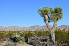 De boom van Joshua in de woestijn Stock Fotografie