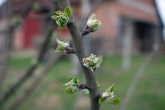 De boom van de Joungappel in de lente royalty-vrije stock afbeelding