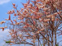 De boom van kassieboombakeriana Royalty-vrije Stock Foto