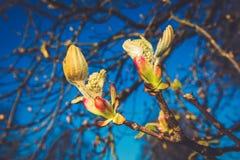 De boom van de kastanjeknop in de lente Stock Fotografie