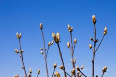 De boom van de kastanjeknop op de duidelijke blauwe hemelachtergrond in de lente Paardekastanje buiten stock foto