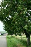De boom van kersen stock foto