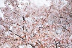 De boom van de kersenbloesem in de lente Stock Foto