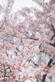 De boom van de kersenbloesem in de lente Stock Afbeelding