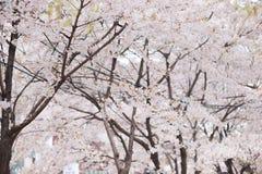 De boom van de kersenbloesem in de lente Stock Afbeeldingen