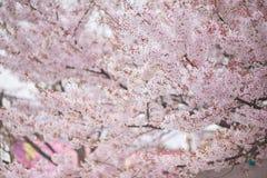De boom van de kersenbloesem in de lente Royalty-vrije Stock Fotografie