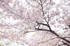 De boom van de kersenbloesem in de lente Stock Fotografie