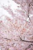 De boom van de kersenbloesem in de lente Royalty-vrije Stock Foto