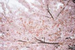 De boom van de kersenbloesem in de lente Stock Foto's