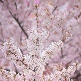 De boom van de kersenbloesem in de lente Royalty-vrije Stock Afbeeldingen