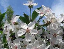 De boom van de kersenbloesem in tuin stock fotografie