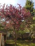 De boom van de krabappel in bloei stock foto