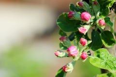 De boom van de krabappel in volledige bloei Alle takken worden uitgestrooid met knoppen en verse witte en roze bloemen Vreugde en stock foto