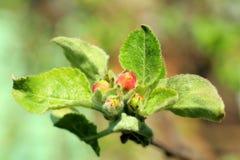 De boom van de krabappel in volledige bloei Alle takken worden uitgestrooid met knoppen en verse witte en roze bloemen Vreugde en royalty-vrije stock afbeeldingen