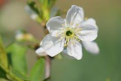 De boom van de krabappel in volledige bloei Alle takken worden uitgestrooid met knoppen en verse witte en roze bloemen Vreugde en stock afbeeldingen