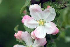 De boom van de krabappel in volledige bloei Alle takken worden uitgestrooid met knoppen en verse witte en roze bloemen Vreugde en royalty-vrije stock fotografie