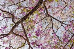 De boom van Lagerstroemiaspeciosa met roze bloemen stock afbeelding