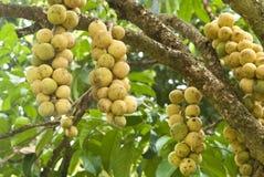 De boom van Longkong Royalty-vrije Stock Afbeeldingen