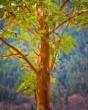De boom van Madrona Royalty-vrije Stock Afbeeldingen