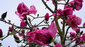 De Boom van de magnoliabloesem Mooie magnolia reuzebloemen tegen blauwe hemelachtergrond stock foto
