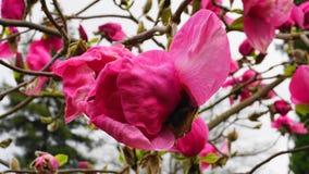 De Boom van de magnoliabloesem Mooie magnolia reuzebloemen tegen blauwe hemelachtergrond stock fotografie