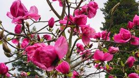De Boom van de magnoliabloesem Mooie magnolia reuzebloemen tegen blauwe hemelachtergrond royalty-vrije stock afbeelding